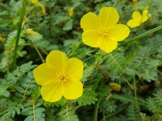 Kotvičník květ